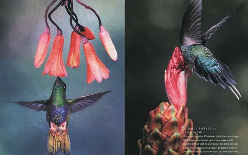 """Web press rotogravure. Luis A. Mazariegos. Eriocnemis mirabilis (left) and Phaethornis guy (right) from National Geographic, January 2007. c. 2006. 10 x 13 3/4"""" (25.4 x 34.9 cm) each. The Museum of Modern Art, New York. Gift of Richard Benson © Luis A. Mazariegos"""