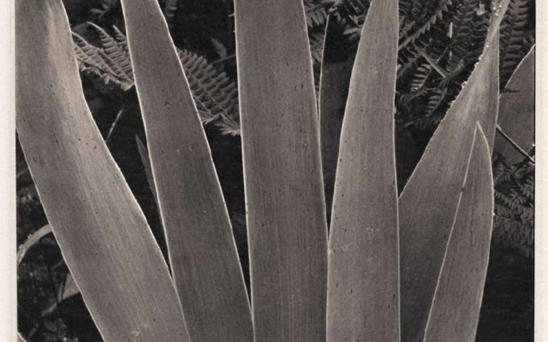"Hand gravure. Paul Strand. Iris. 1928 (Printed by Jon Goodman and Richard Benson, 1978). 9 13/16 x 7 7/8"" (25 x 20 cm). Berlin. The Museum of Modern Art, New York. Gift of Richard Benson © Paul Strand Archive, Aperture Foundation, Inc."